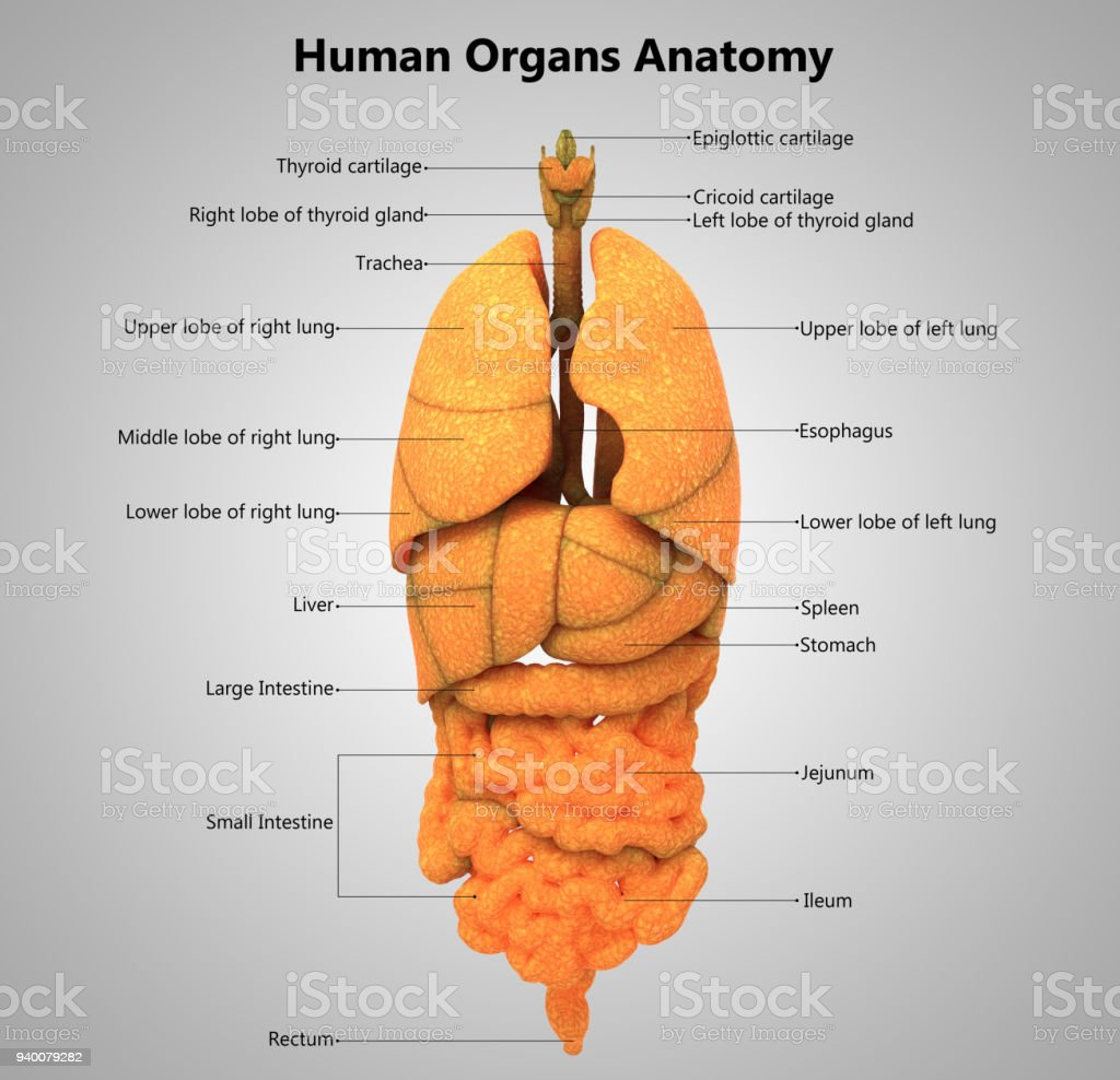 Human Body Organs Label Design Anatomy Stock Photo & More Pictures ...