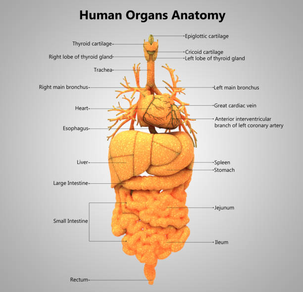 Royalty Free Human Organs Heart Liver Kidneys Lungs Pictures