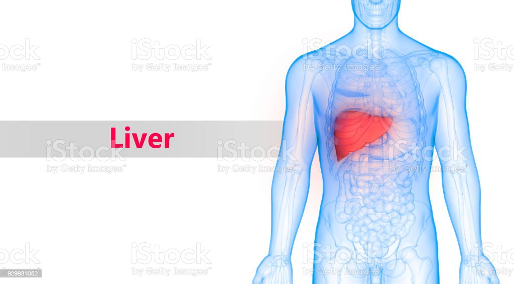 Human Body Organs Liver Anatomy Stock Photo More Pictures Of