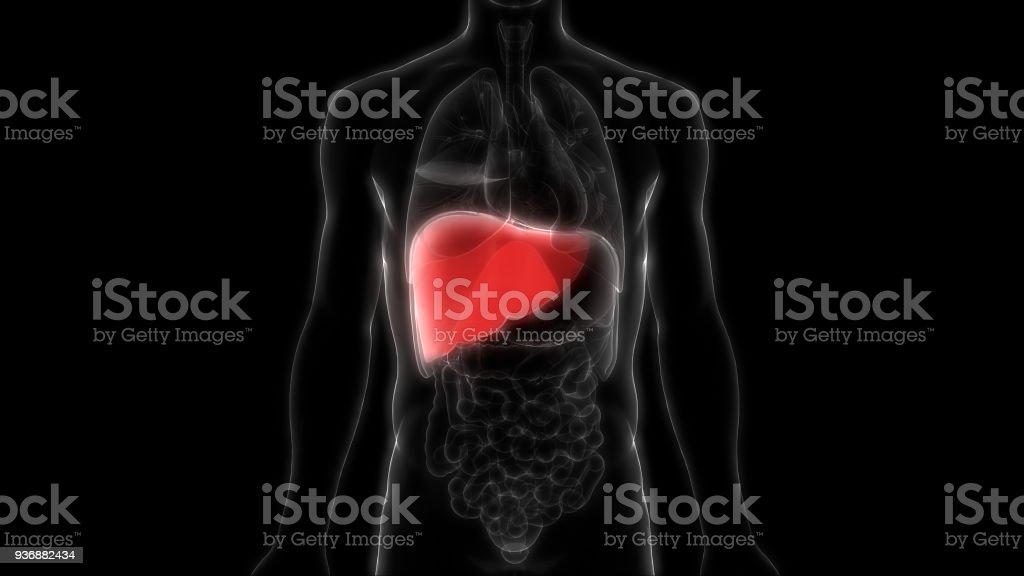 Fotografía de Órganos Del Cuerpo Humano Anatomía Del Hígado y más ...