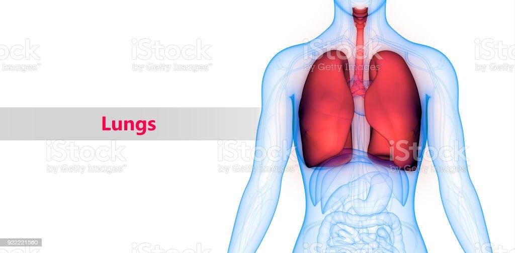 Menschlichen Körper Organe Lunge Anatomie Stock-Fotografie und mehr ...