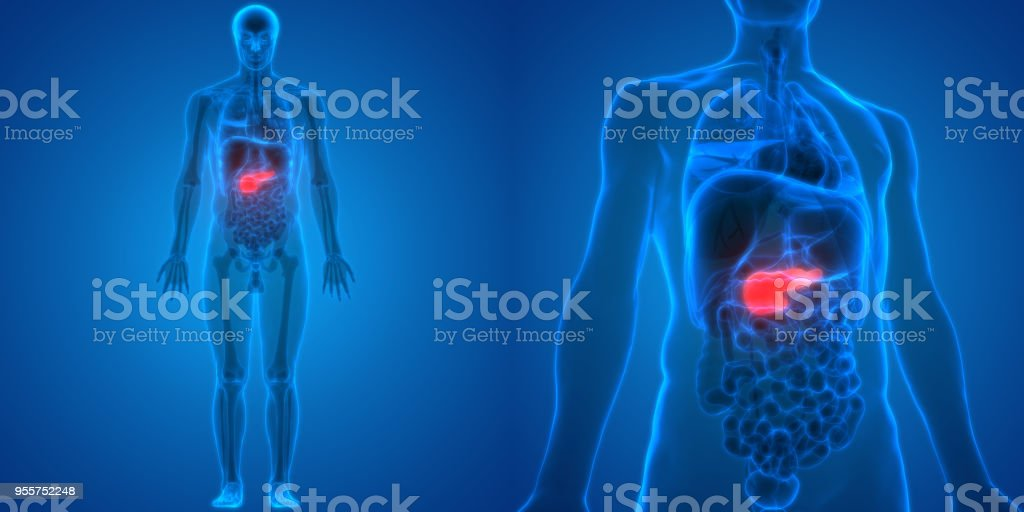 Human Body Organs Pancreas Anatomy Stock Photo More Pictures Of