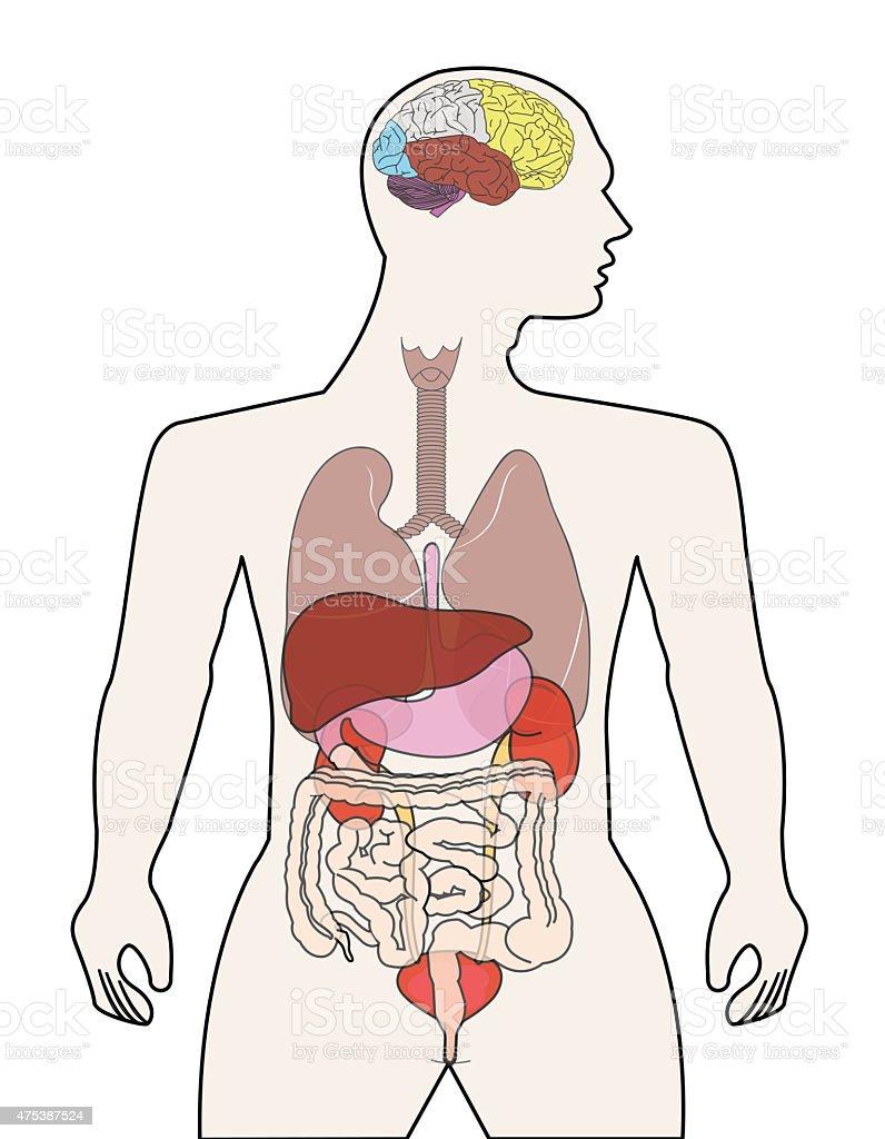 Ausgezeichnet Bild Der Menschlichen Organe Im Körper Ideen ...