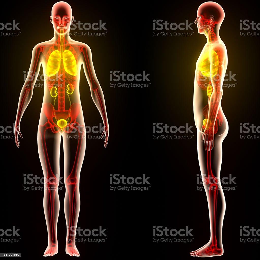 Fotografía de Cuerpo Humano órganos y más banco de imágenes de ...