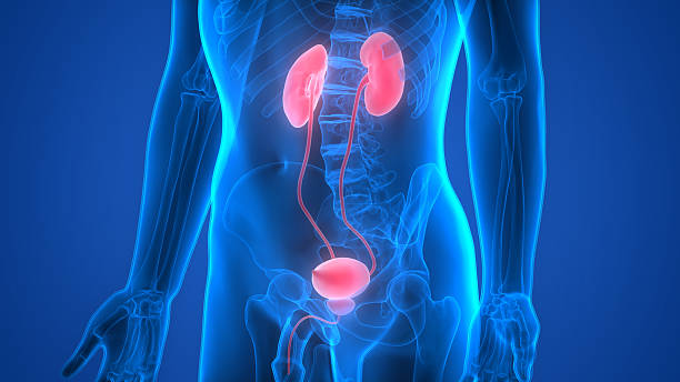 Human Body Organs (Kidneys) 3D Illustration of Human Body Organs (Kidneys) urinary system stock pictures, royalty-free photos & images