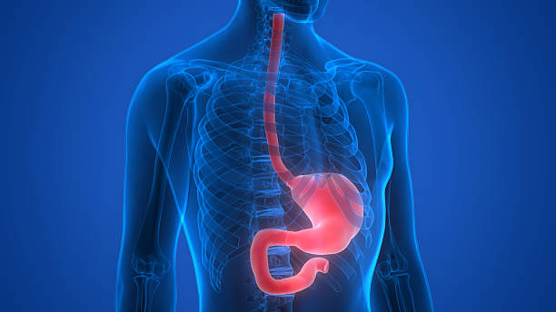 human body organs (stomach anatomy) - esophagus stock photos and pictures
