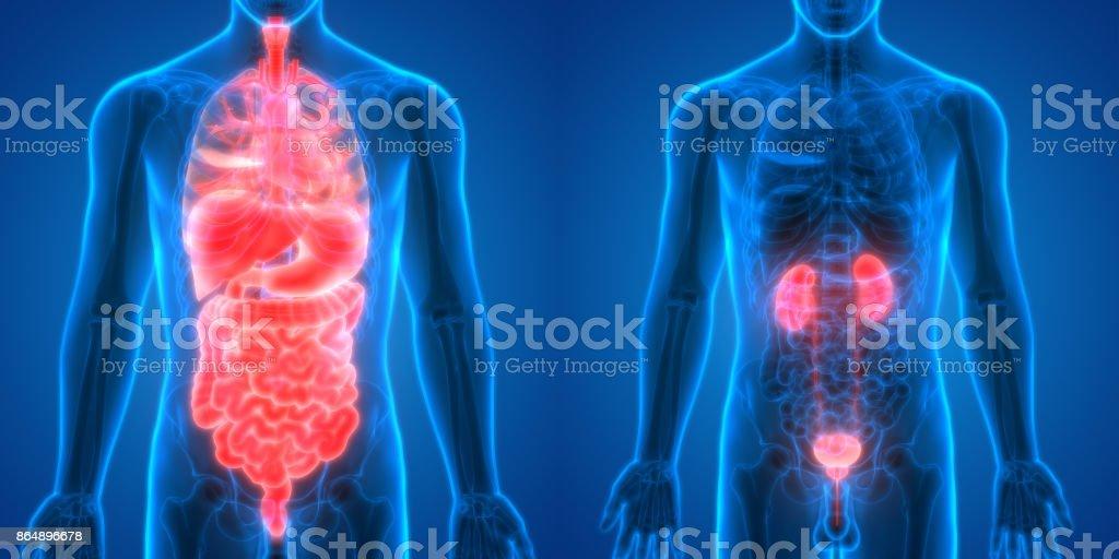 Ausgezeichnet Weibliche Körperorgane Bilder Fotos - Anatomie und ...