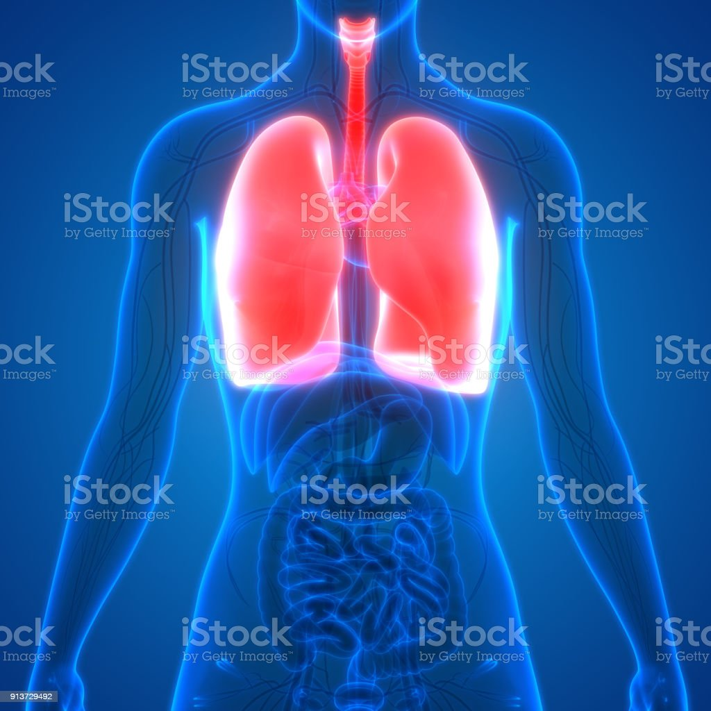 Human Body Organs Stock Photo More Pictures Of Abstract Istock