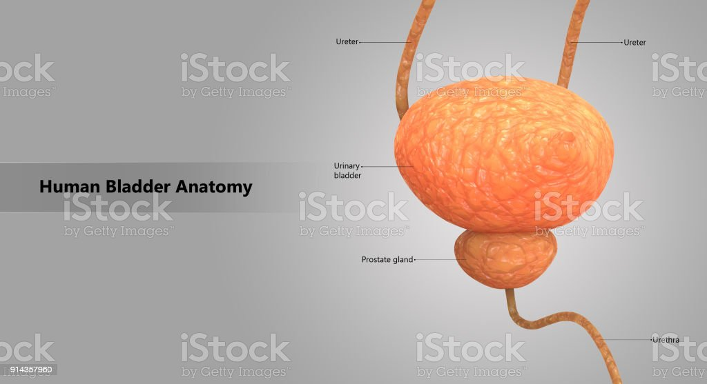 Human Body Organs (Urinary Bladder) stock photo