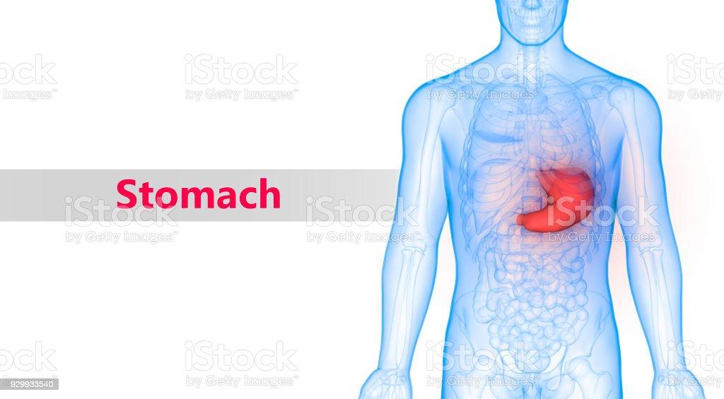 Cuerpo Humano órganos Estómago Anatomía - Fotografía de stock y más ...