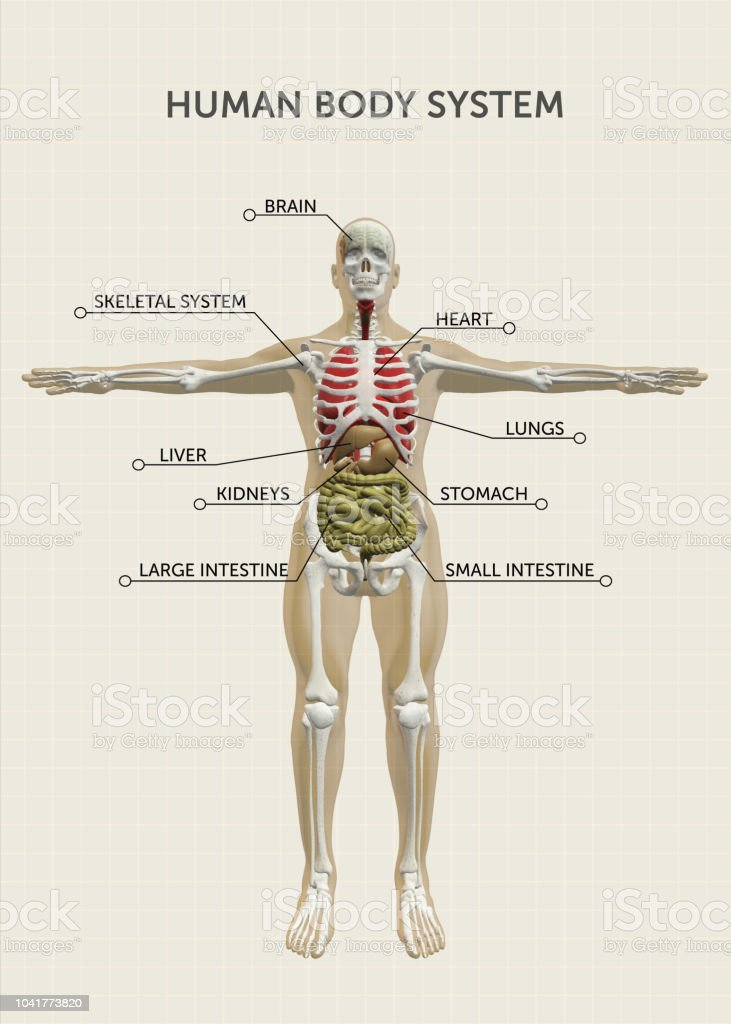 Human Body Organs Systems Stock Photo More Pictures Of Anatomy