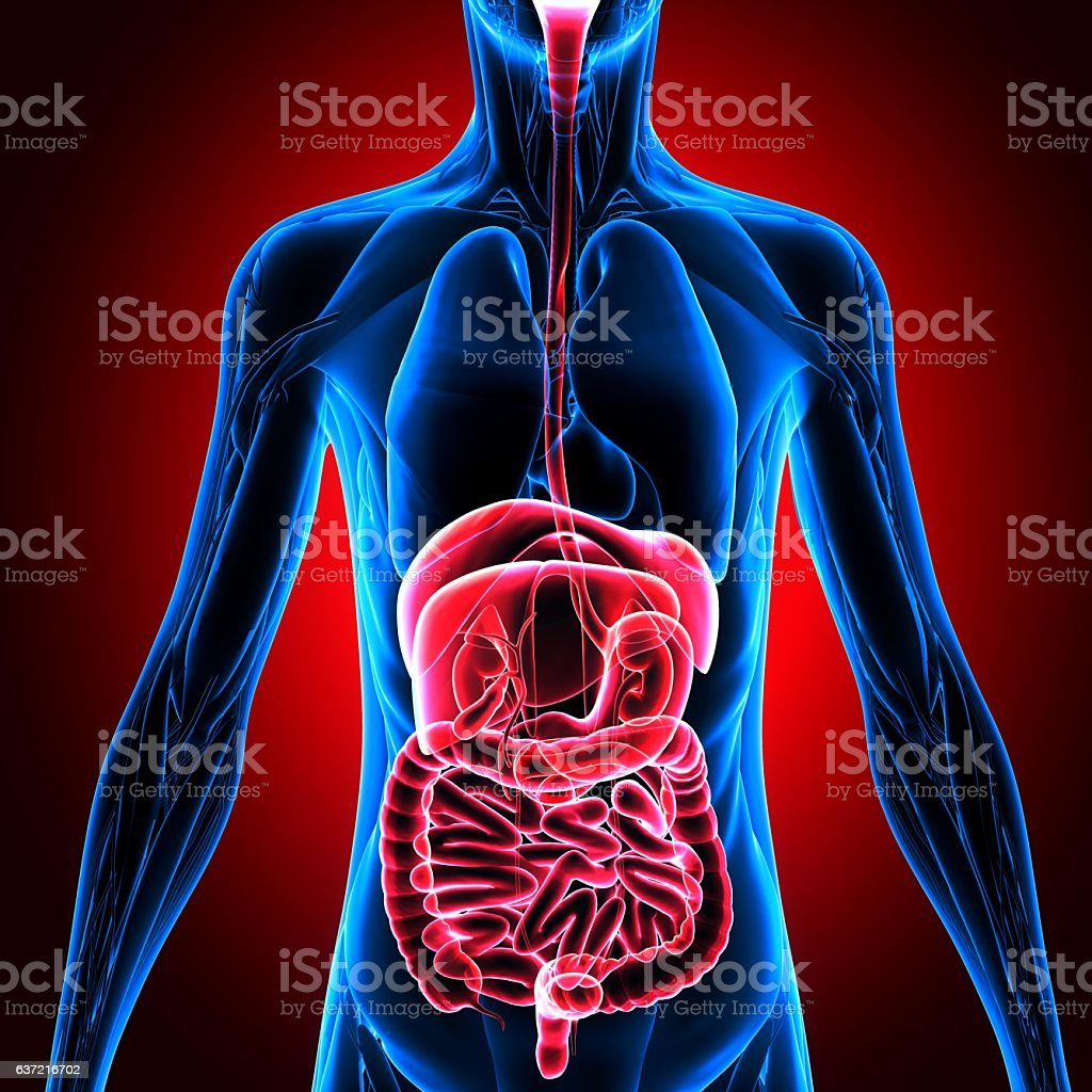 Human body, person, digestive system, anatomy. 3d rendering stock photo