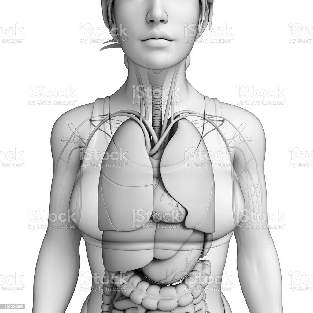 Human body respiratory system stock photo