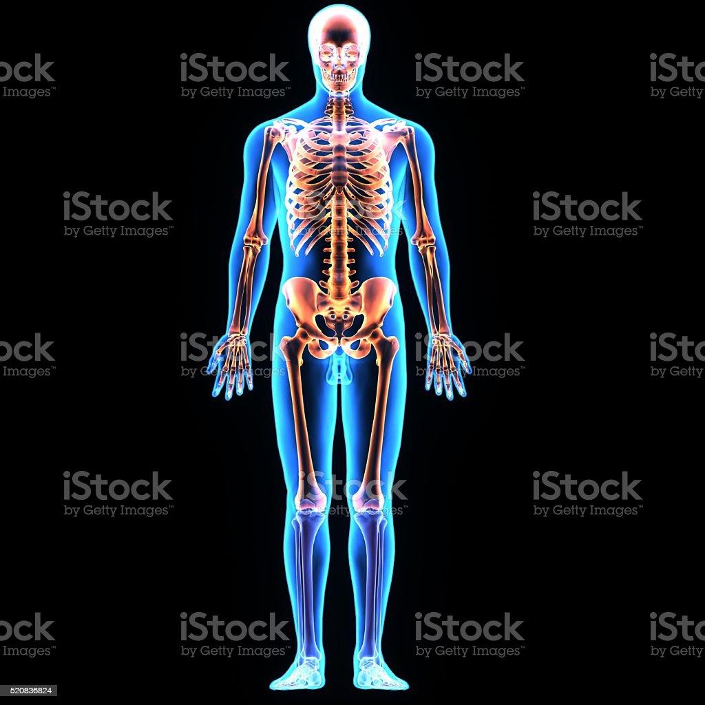human body skeleton stock photo