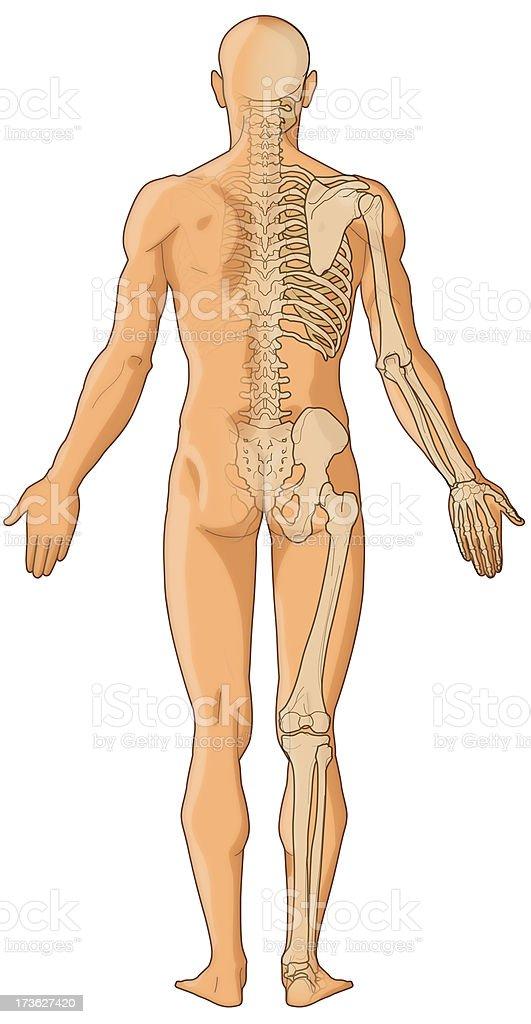 Fotografía de Cuerpo Humano La Piel Y Los Huesos Imagen De Mapa De ...