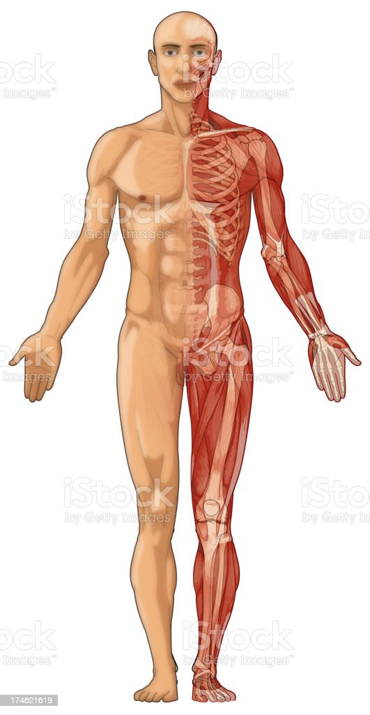Human Body Skin Muscles And Bones Stock Photo More Pictures Of