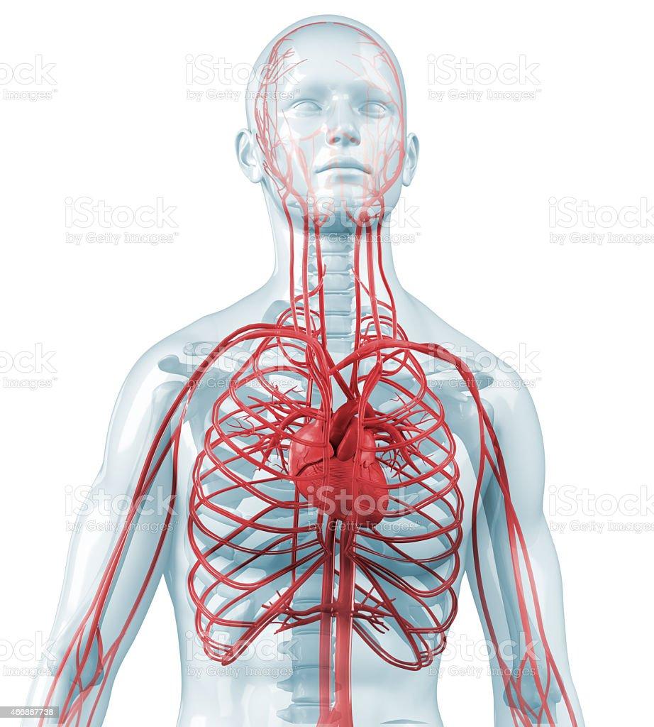Fotografía de Cuerpo Humano Con Corazón Y Cardiovasculares ...