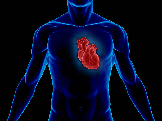 human body with heart for medical study - human heart stock photos and pictures