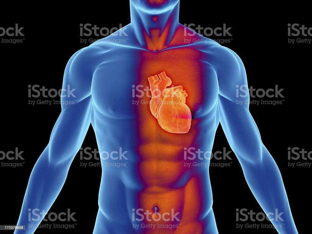 Human body with heart for medical study stock photo