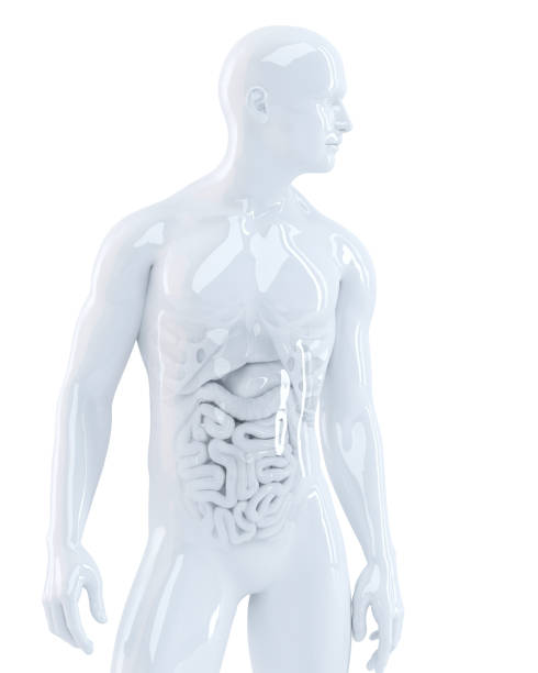 corpo humano com órgãos internos. ilustração 3d. isolado. contém o traçado de recorte - tronco termo anatômico - fotografias e filmes do acervo
