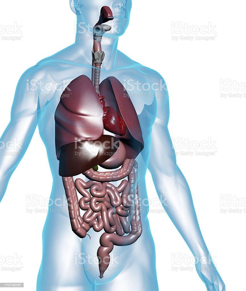 Menschlichen Körper Mit Inneren Organen Stock-Fotografie und mehr ...