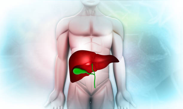 Human body with liver stock photo