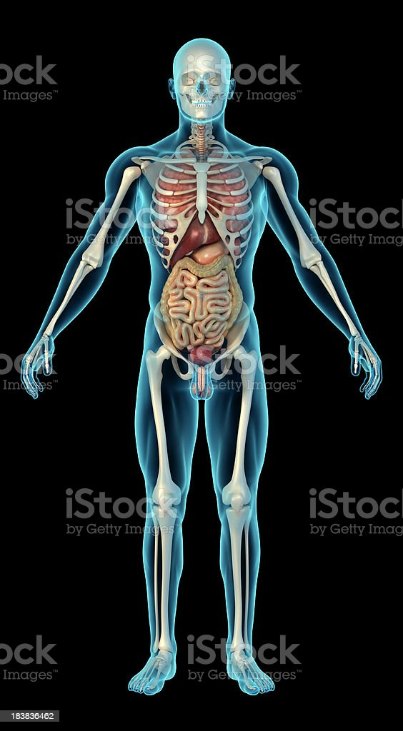 Human body with skeleton and internal organs stock photo