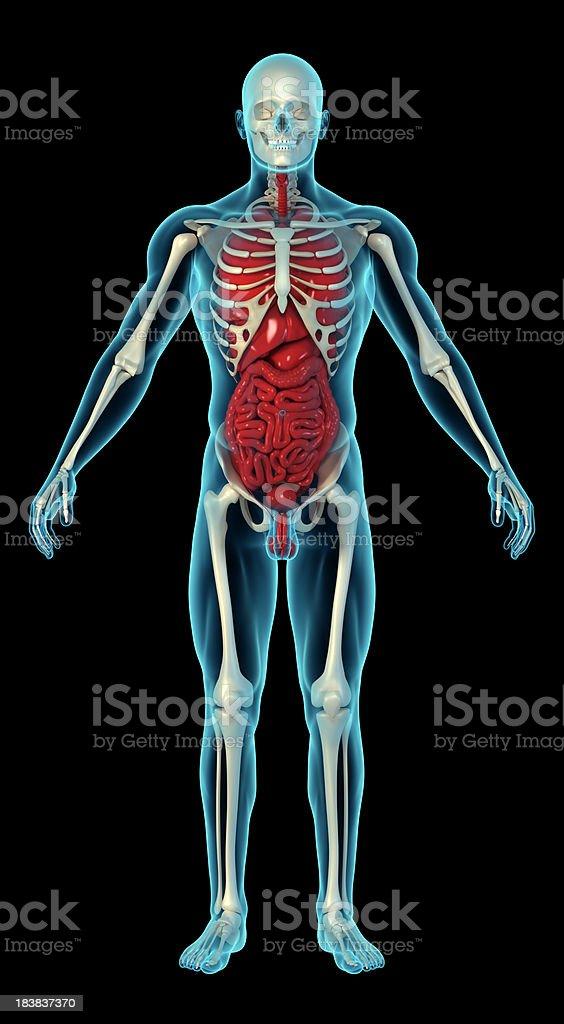 Fotografía de Cuerpo Humano Con El Esqueleto Y órganos Internos y ...