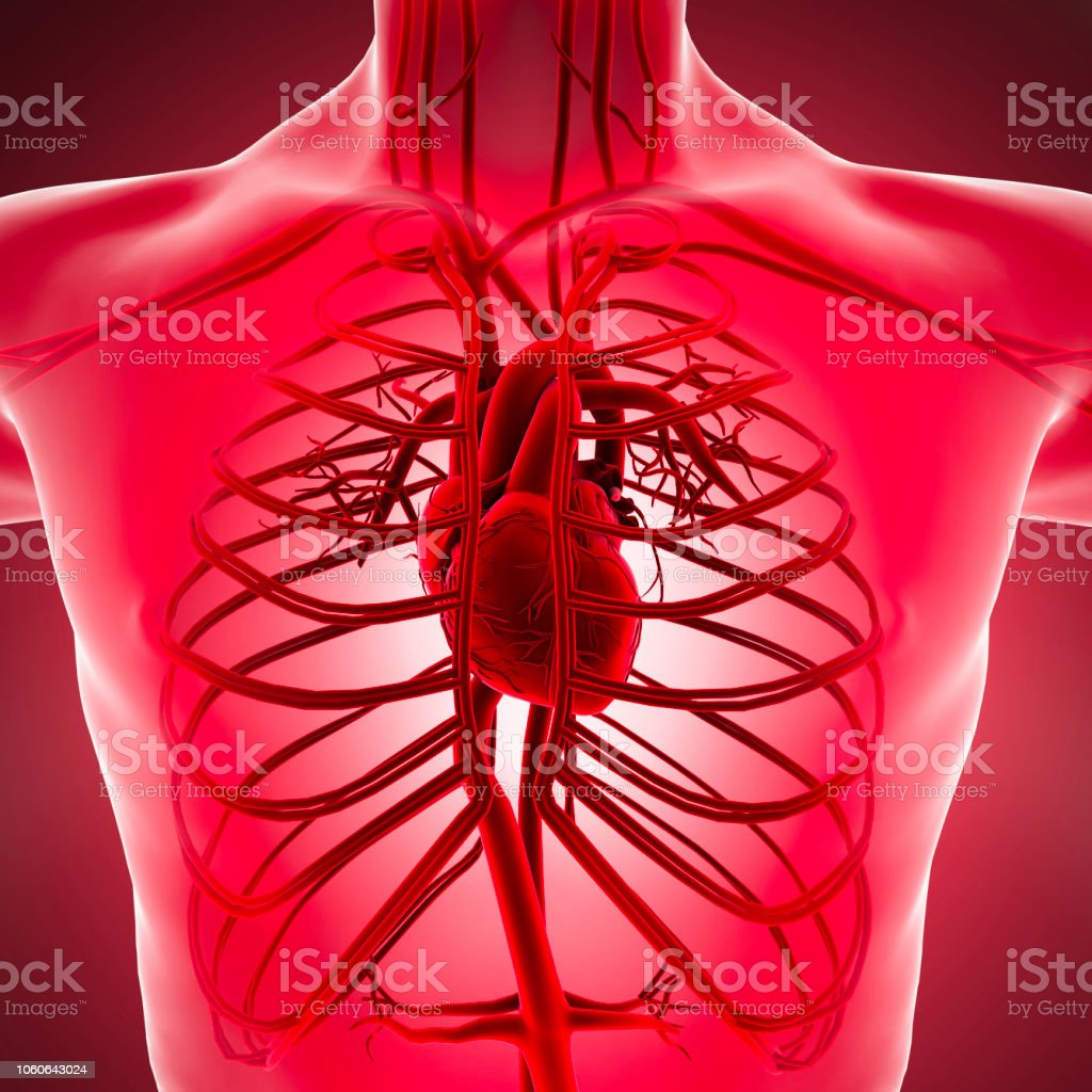 Human Body Xray View Of The Circulatory System With Heart Arteries And  Veins Stock Photo   Download Image Now