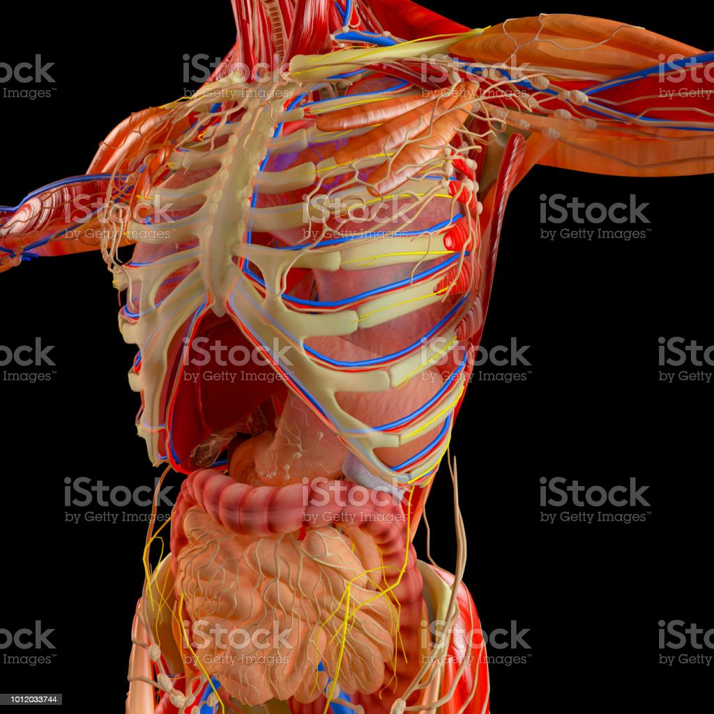 Human Body Xray View Of The Respiratory Apparatus And Digestive