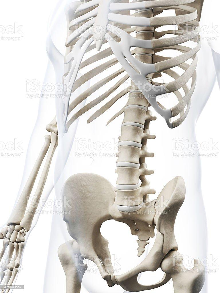 Menschlicher Knochenbauch Stock-Fotografie und mehr Bilder von ...