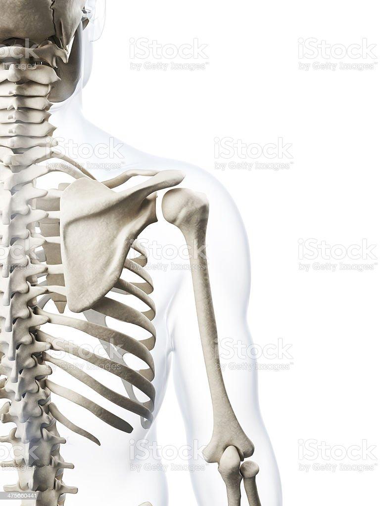 Menschlicher Knochenschulter Stock-Fotografie und mehr Bilder von ...