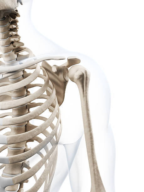 Royalty Free Shoulder Bone Pictures, Images and Stock Photos - iStock