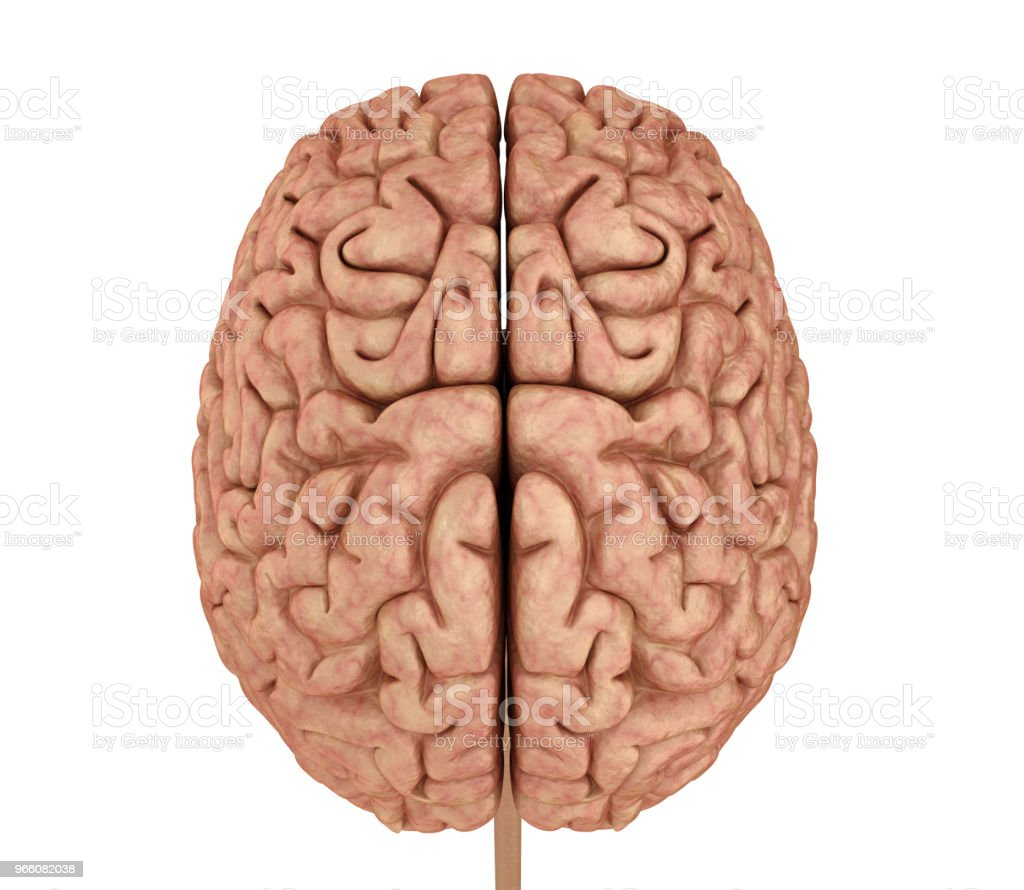 Human Brain 3d Model Isolated On White Medically Accurate 3d ...