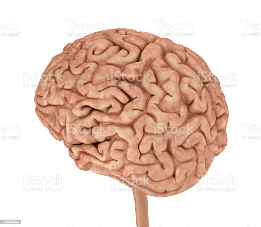 Mänskliga hjärnan 3D modell, isolerade på vitt. Medicinskt korrekt 3D illustration - Royaltyfri Anatomi Bildbanksbilder