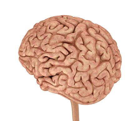 Menschliche Gehirn 3dmodell Isoliert Auf Weiss Medizinisch Genaue 3dillustration Stockfoto und mehr Bilder von Anatomie