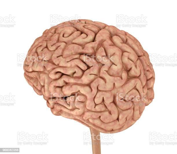 Mänskliga Hjärnan 3d Modell Isolerade På Vitt Medicinskt Korrekt 3d Illustration-foton och fler bilder på Anatomi