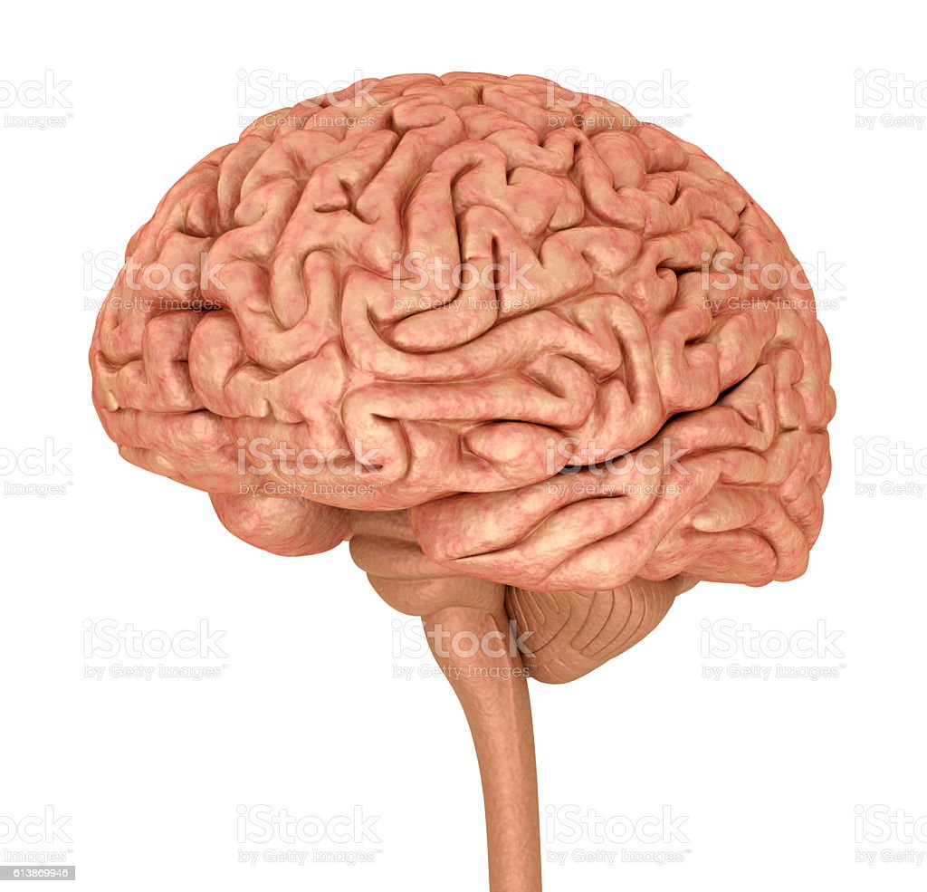 Human Brain 3d Model Isolated On White Stock Photo More Pictures