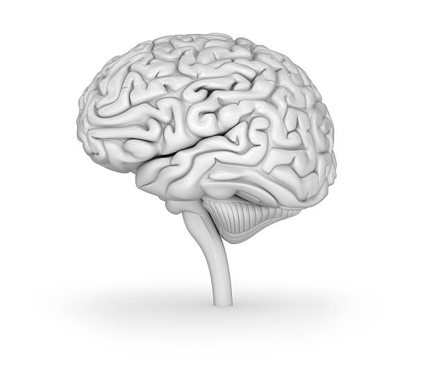 Human brain 3D model. Medically accurate 3D illustration Human brain 3D model. Medically accurate 3D illustration cerebellum stock pictures, royalty-free photos & images