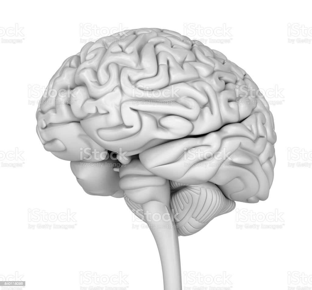 Human brain 3D model. Medically accurate 3D illustration stock photo