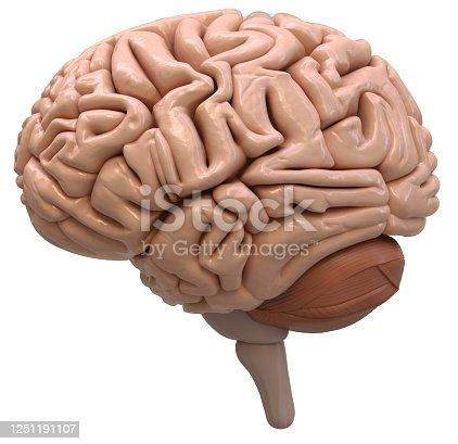 human, brain, 3d rendering, isolated on white background