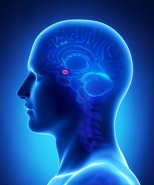 Human brain AMYGDALA - cross section  janulla stock pictures, royalty-free photos & images