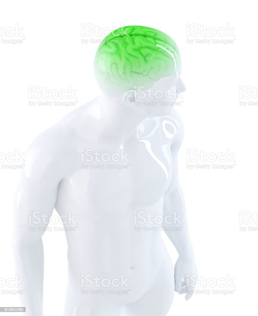 Human brain. Anatomical illustration. Isolated. Contains clipping path stock photo
