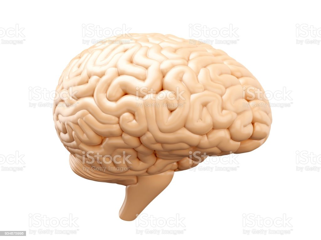 Human Brain Anatomical Illustration Stock Photo More Pictures Of