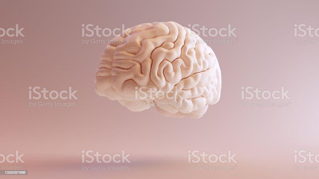 Human brain Anatomical Model 3Q Front Left stock photo