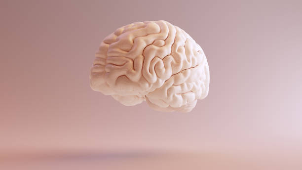 Human brain Anatomical Model 3Q Front Left stock photo