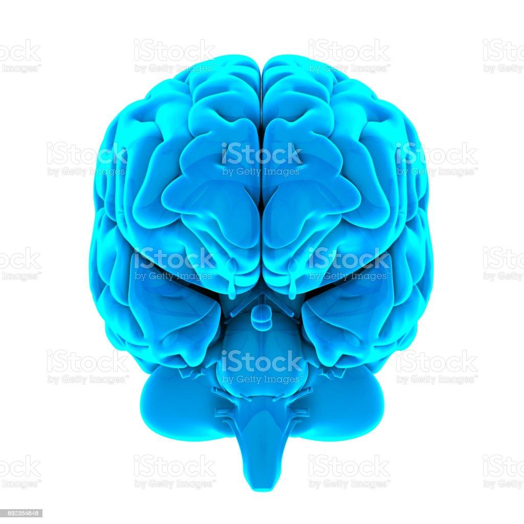Anatomía Del Cerebro Humano Aislado - Stock Foto e Imagen de Stock ...
