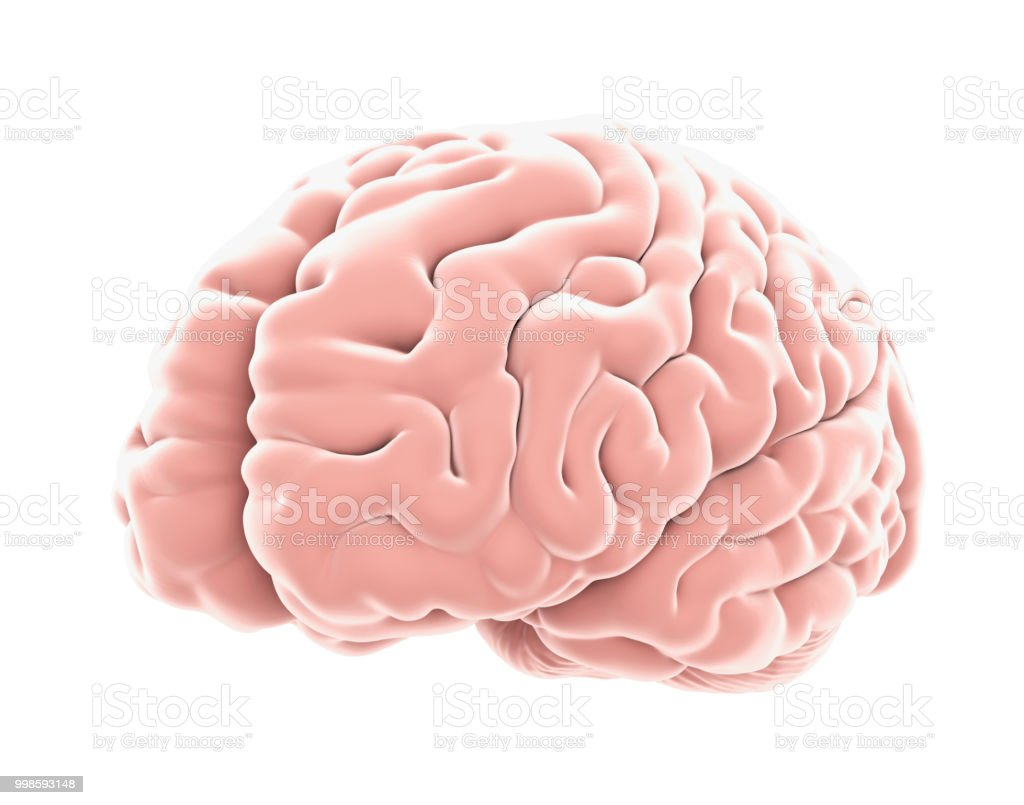 Human Brain Anatomy Isolated stock photo