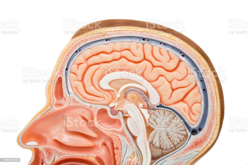 Menschliche Gehirnanatomiemodell Für Bildung Stock-Fotografie und ...