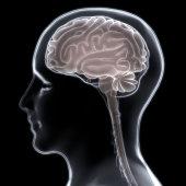 istock Human Brain Anatomy 1001880820